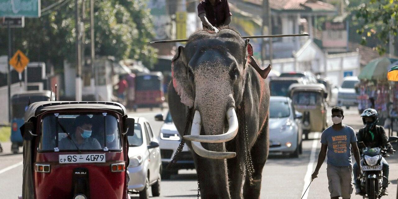 Los borrachos no podrán manejar elefantes domesticados en Sri Lanka